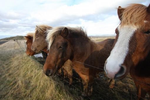 Vier Islandpferde stehen nebeneinander auf einer Weide.