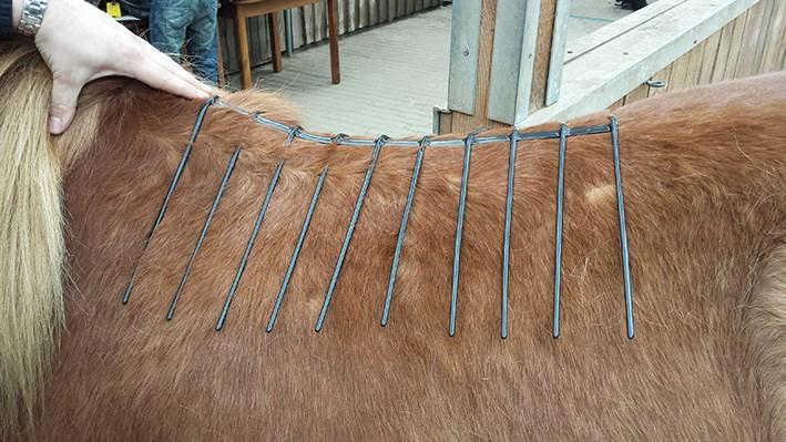 Mit einem Drahtgitter auf dem Rücken eines Islandpferdes wird der Sattel optimal angepasst.