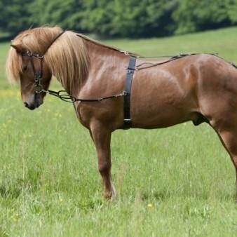 Pferd mit Longiergeschirr